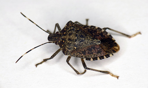 Brown Marmorated Stink Bug This Is One Of The Latest Arriv Flickr