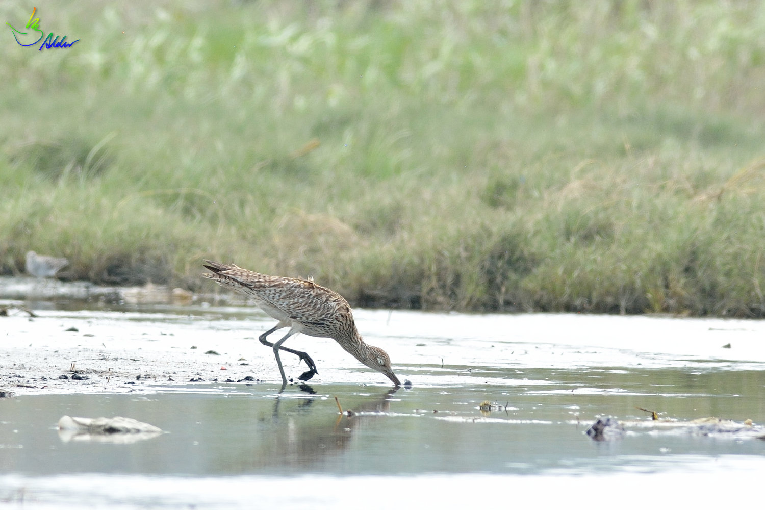 Far_Eastern_Curlew_2360
