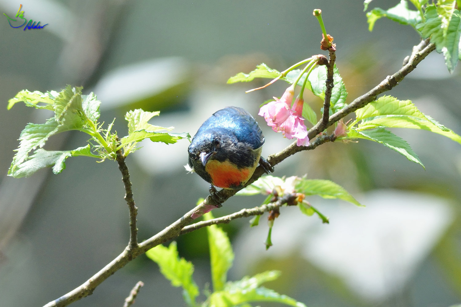 Fire-breasted_Flowerpecker_1383