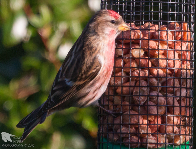 Redpoll: help me feed the birds
