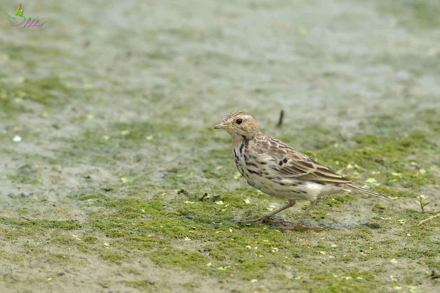 Red-throated_Pipit_3469