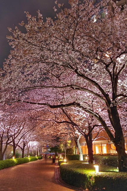 Sakura night walkers
