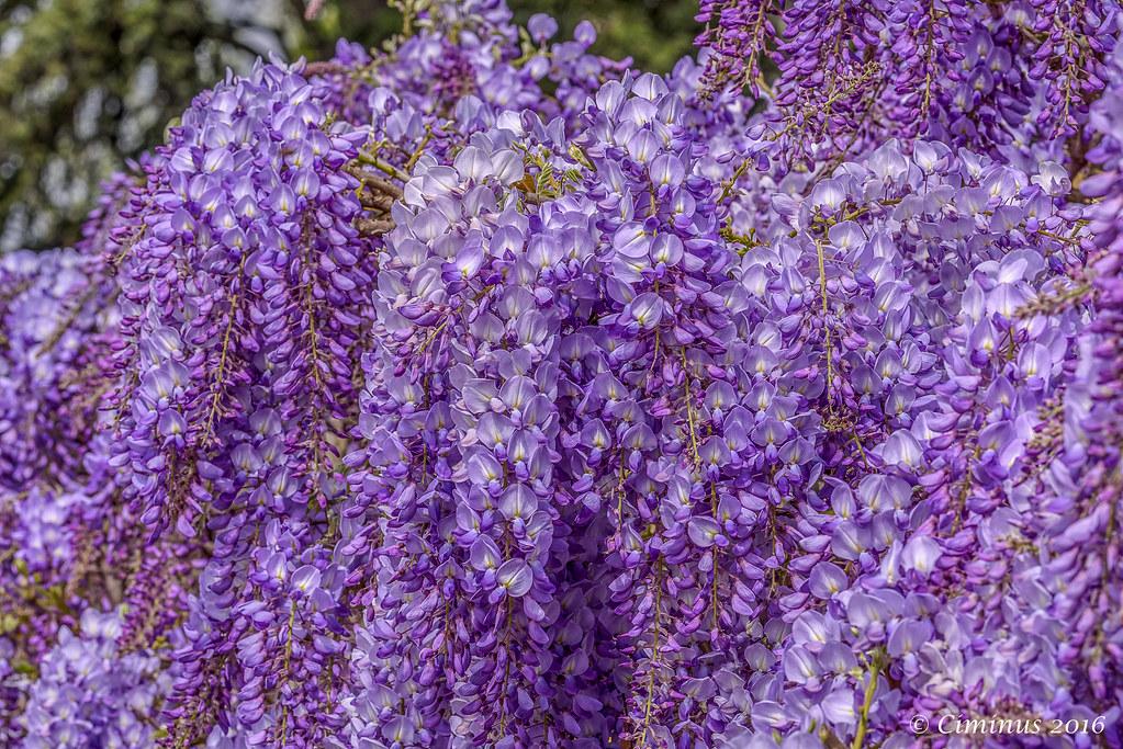 Wisteria sinensis.