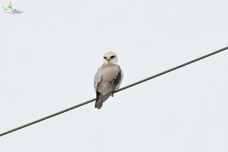 Black-shouldered_Kite_3805