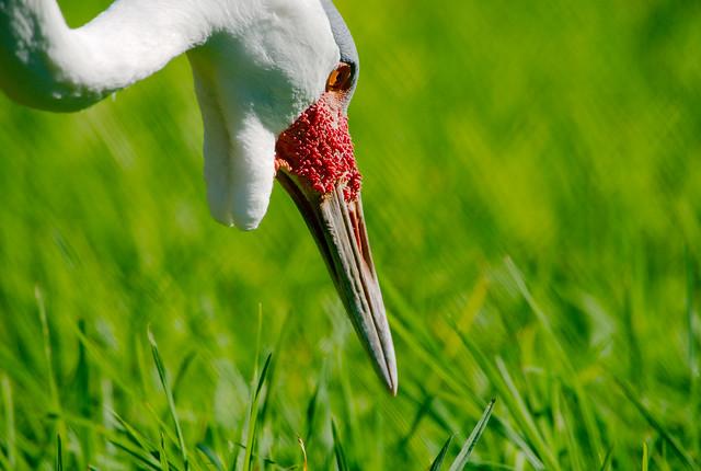 Wattled Crane (Bugeranus carunculatus)_33