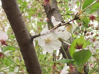 終わりかけの桜 2016.4.9