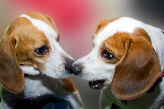 Beagle love | by soupboy