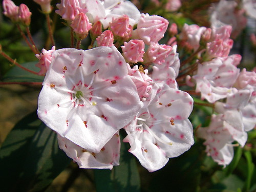 Mountain laurel | by Blue Lotus
