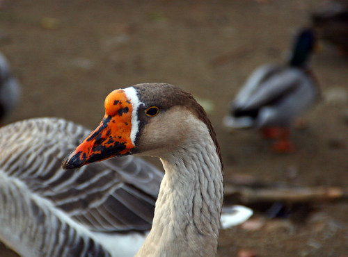 brown eyed goose | by Muffet
