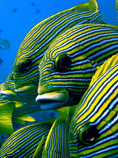 ribbon sweetlips | by marika_treffert