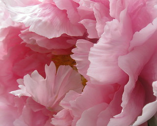 Paeonia, Tree Peony detail | by Tie Guy II
