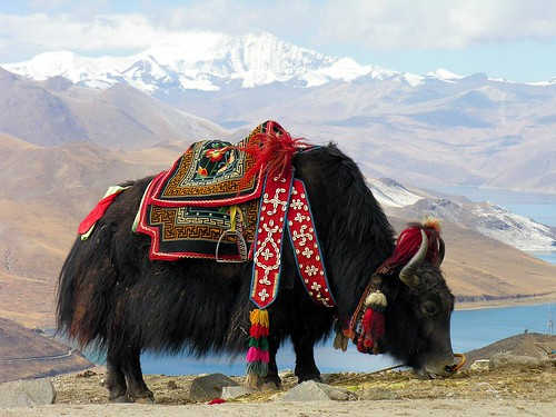 Tibet-5812 - Yak at Yundrok Yumtso Lake | by archer10 (Dennis) 80M Views