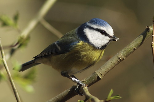 Blue_tit_2 | by stuartgeeves