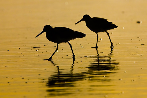 Two Willet shorebirds in silhouette on wet sand during a golden sunset on Morro Strand State Beach in Morro Bay, CA | by mikebaird