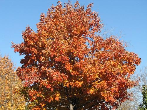 Un arbre aux feuilles rouges et oranges  A tree with red