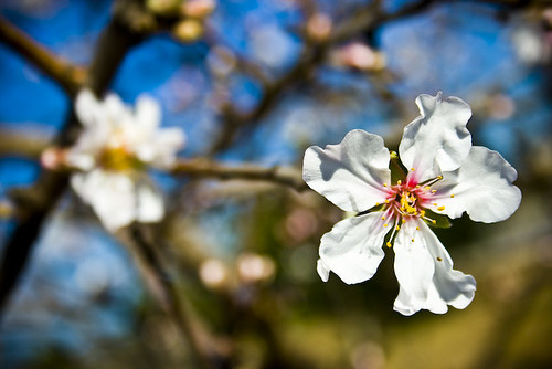 Almond flower - Mallorca - Spain | by Fran Oliverax