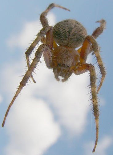 Barn Spider Sky Araneidae Orb Weaver Probably Of The