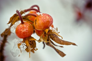 Winter Rose Hips | by dawn_perry
