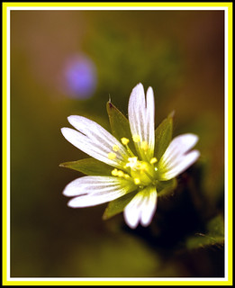 White Weed Flower: Mouse Ear Chickweed (thanks Jim) | by Ed aka: Dexx