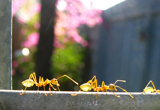 Ants marching | by +gAbY+