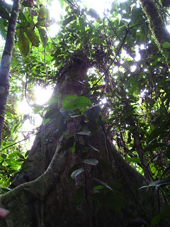 Giant dipterocarp tree | by East Asia & Pacific on the rise - Blog