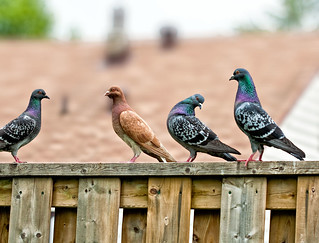 Pigeon pagent | by dragontoller