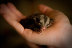 Ika the Baby Sugar Glider | by elyse patten