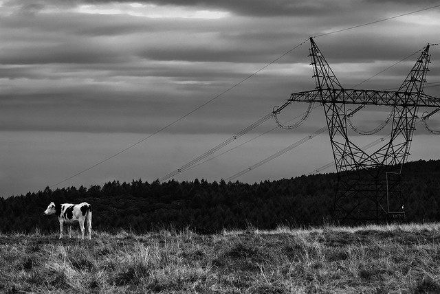 A cow and a high pressure transmission steel tower