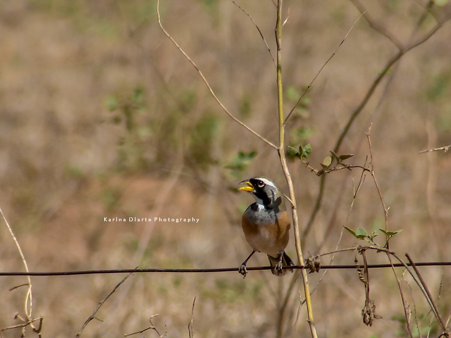 Pepitero Chico / Many-colored Chaco-Finch