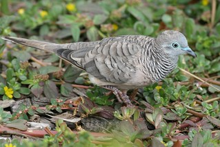 Geopelia striata placida (Peaceful Dove) | by Arthur Chapman