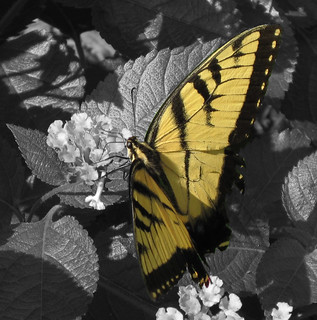 Selective Color Butterfly | by kathy koch