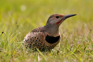 Northern Flicker | by brendan.lally....away
