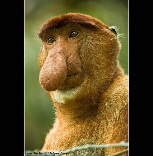Male Proboscis Monkey - Bako National Park / Borneo Island - Sarawak in Malaysia - South East Asia | by Lucie et Philippe