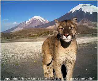 Puma at Lauca Park, Putre, Chile | by www.TerraceLodge.com