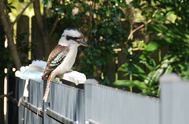 Kookaburra on Our Fence