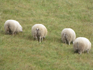 4 sheep showing me their asses in southern Iceland | by Hazboy