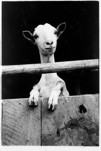 Somali goat