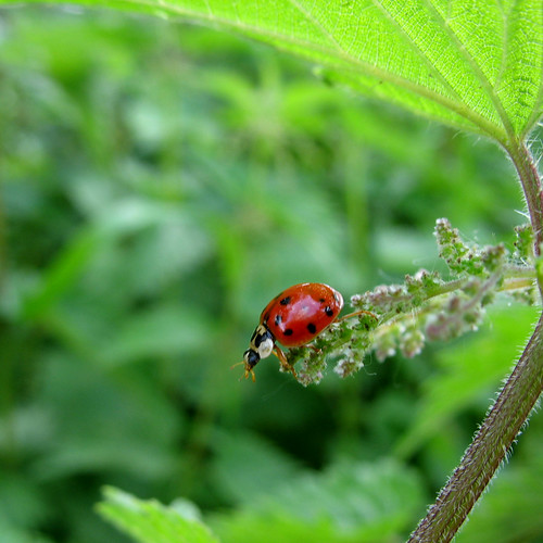 Ladybug on Nettle - My Ladybug should bring you Luck  -  Happy New Year 2010 !!! | by Batikart