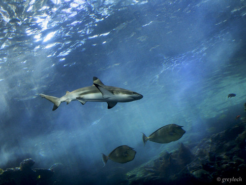 black-tipped reef shark | by greyloch