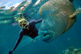 Me with Humphead Wrasse, Great Barrier Reef | by brewbooks
