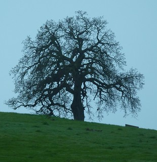 Oak Tree | by di_the_huntress