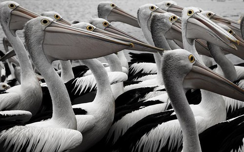 Evil Pelicans | by andy_tyler