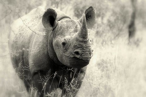 Black Rhino portrait. | by Peter G Hall