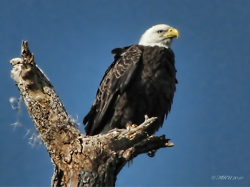 American Bald Eagle in the Wild | by nobleup Coming Back Slowly