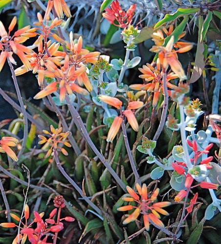 Aloe bakeri Blooms