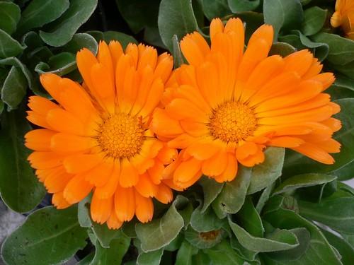 calendula officinalis pot marigold flickr photo sharing. Black Bedroom Furniture Sets. Home Design Ideas