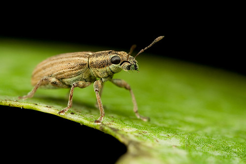 Weevil | by Alliec2007