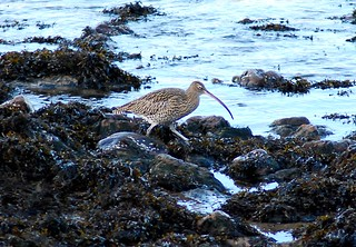 The Curlew | by Alex103