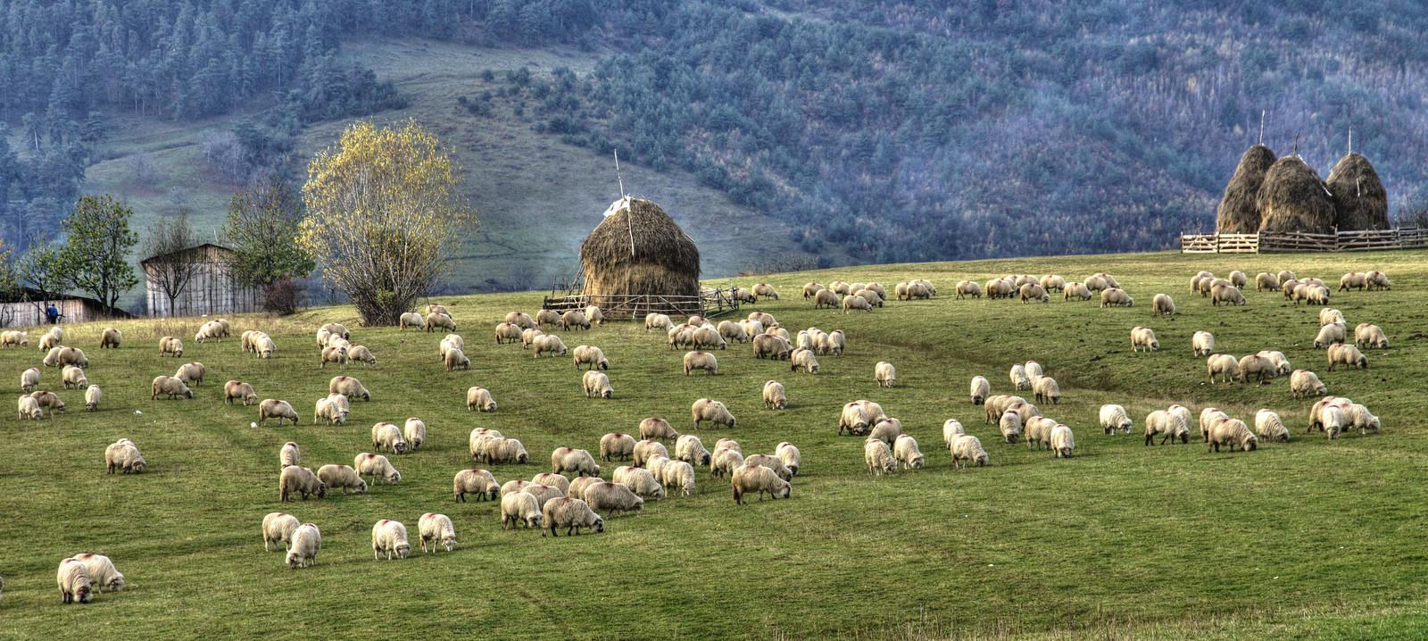 Pâturage à proximité de Rășinari, Roumanie