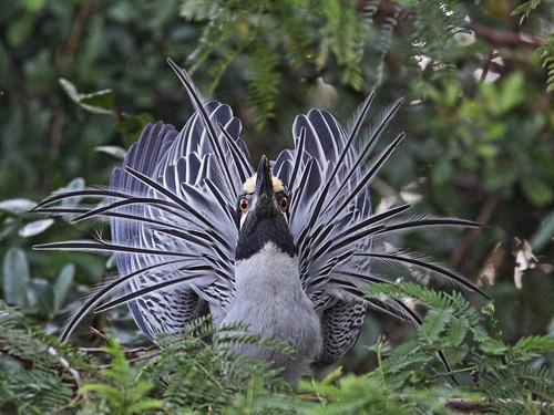 Yellow-crowned Night-Heron display 05-20140224